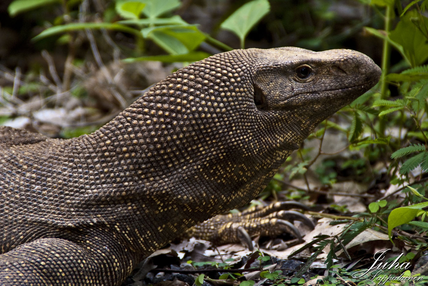 the Clouded Monitor | Juha Lappalainen photography