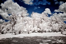 coconut trees in infrared